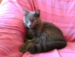 tjs mon bb d'amour - Male Shiny Chartreux (4 years)