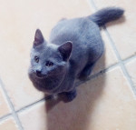 Melody - Shiny Chartreux (3 months)