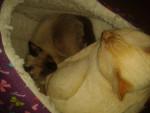 Lipin - Male Shiny Siamese (9 months)