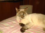 Ludobica - Shiny Siamese (1 year)