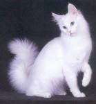 seletia654 - Shiny Turkish Angora (6 months)