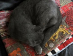 Peter - Male Shiny American Shorthair (3 years)