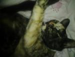 Fiona - Shiny American Shorthair (10 months)