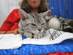 American Wirehair picture