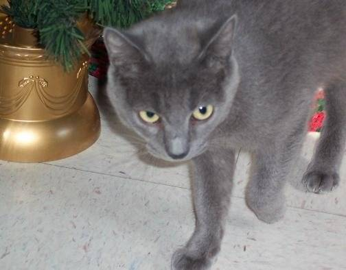 Stubby - Russian Blue (4 years)