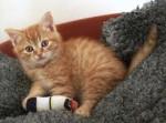 Cat Bonnie - Siberian Female (10 months)