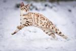 Un magnifique chat Bengal joue dans la neige