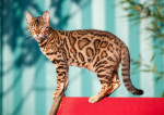 Bengal picture
