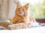 Maine Coon picture