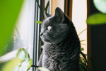 Chartreux picture