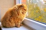 Un Persan roux en surpoids regarde par la fenêtre