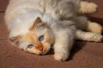 Un chat Birman red point allongé sur le sol