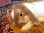 Peanut - Male Average rabbit