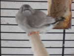 Bird Coco - Female (1 month)