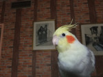 Bird biloute - Male (6 months)