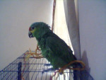 Fred - Male Budgerigar (7 months)