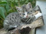 Cat canaille -  Female (6 months)
