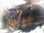 Cat Prunelle -  Female (7 years)