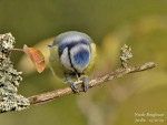 mesange bleue - Chickadee