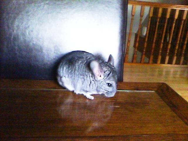 Speed - Male Chinchilla (9 months)
