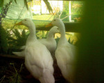 Goliath, Jemima and Quakers. R.I.P. Quackers. - Duck