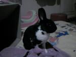 Mon p'tit Coco - Male Dwarf rabbit (2 years)