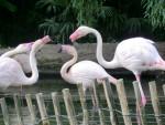 flamant rose - Flamingo