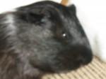 allison - Male Guinea pig (13 years)