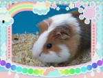 zezette - Guinea pig (9 months)