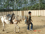 Horse scarlette - Female (8 years)
