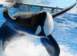 Tilikum - Male Orca (Other)