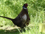 faisan - Pheasant