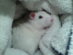 Zephir - Male Rat (3 months)