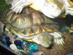 Misty & Stormer - Male Turtle (2 years)