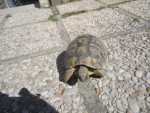 ruga - Male Turtle (Other)