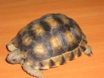 Turtle Tortuga - Female (12 years)
